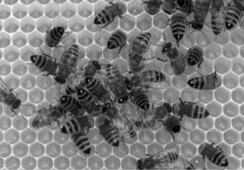 Honeybees_hexagons_small